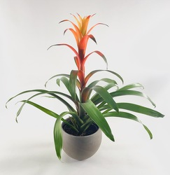 Bromeliad from Crestwood Florist, your flower shop in Kansas City