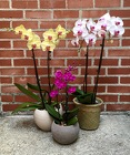 Phalaenopsis Orchid from Crestwood Flowers, your flower shop in Kansas City