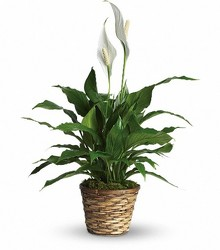 Peace Lily - Spathiphyllum from Crestwood Flowers, your flower shop in Kansas City