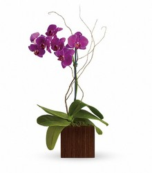 Phalaenopsis Orchid from Crestwood Florist, your flower shop in Kansas City