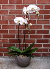 White Phalaenopsis from Crestwood Flowers, your flower shop in Kansas City