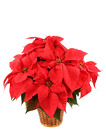 Poinsettia from Crestwood Florist, your flower shop in Kansas City